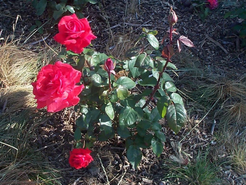 Parfumerea Rosea